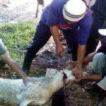 Ciri-ciri Hewan Kurban Terkena Anthrax